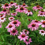 La Equinácea una planta hermosa y buena para la salud