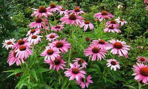 fotos Equinacea planta
