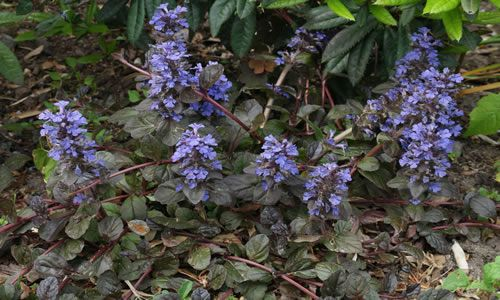 fotos Planta Bugula