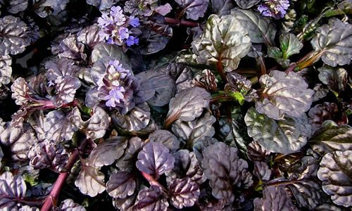 fotos hojas Planta Bugula