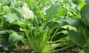 Borraja una planta comestible y medicinal
