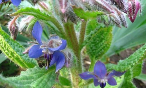 foto planta Borraja flores