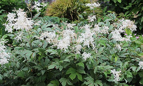 fotos planta Filipendula