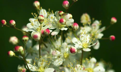 fotos flores Filipendula