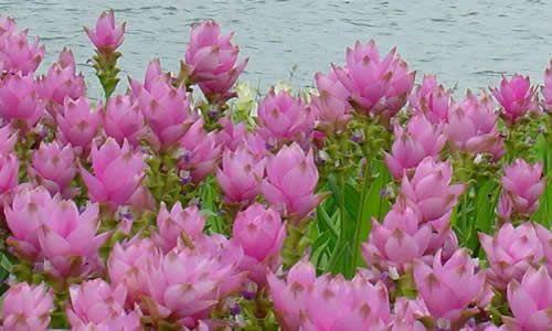 fotos flores cúrcuma
