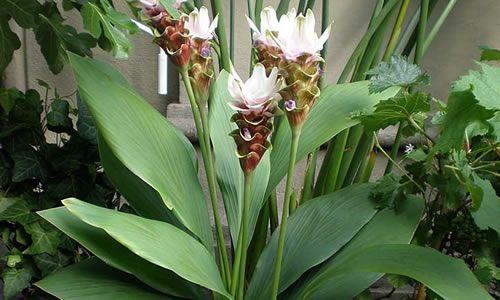 fotos planta curcuma