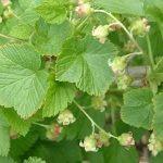 Grosellero como planta medicinal