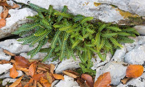 fotos planta Doradilla