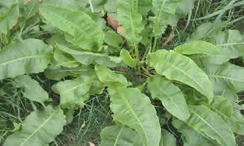 fotos planta Romaza