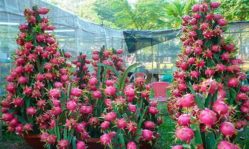 fotos planta Pitahaya