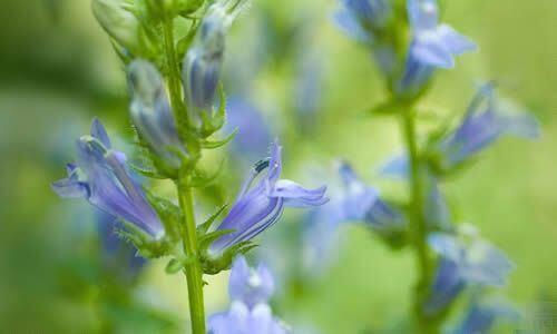 fotos Planta Lobelia flores