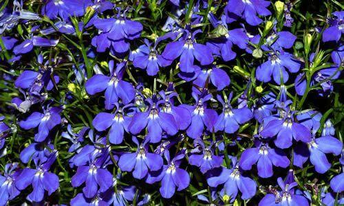 fotos Planta Lobelia