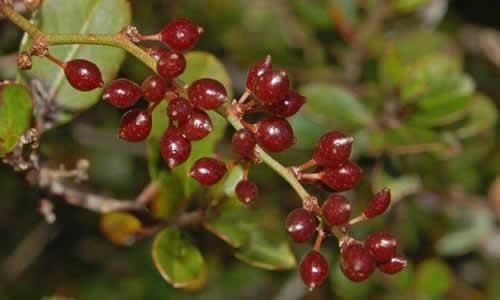 fotos planta zarzaparrilla fruto