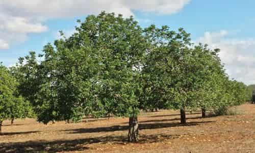 fotos arbol de Algarrobo
