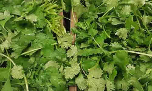 fotos planta Cilantro