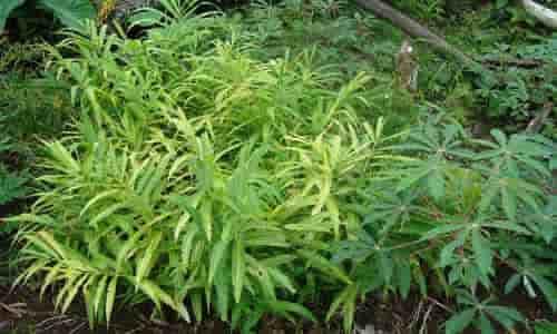 foto Planta Medicinal Jengibre