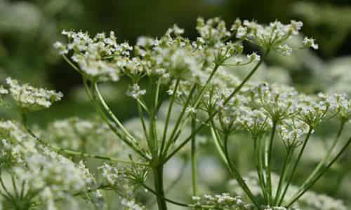 fotos planta alcaravea