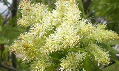planta orno-flores