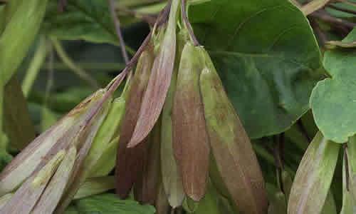 fotos planta orno hojas