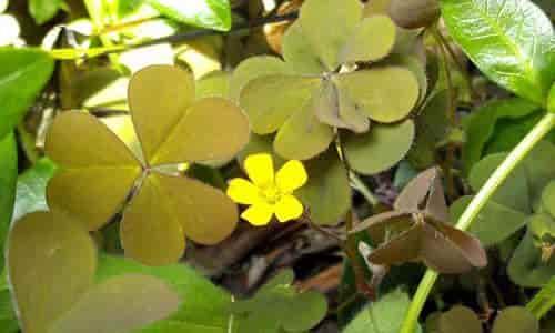fotos planta trébol