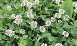 Planta Trébol y sus Propiedades Medicinales