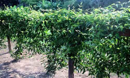 planta-guaco