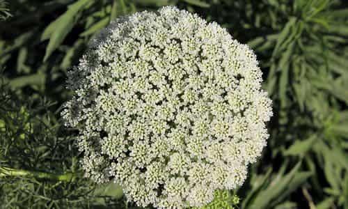 fotos Planta Biznaga flores blanca
