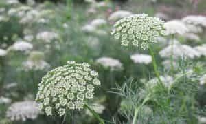 Planta Biznaga y sus Caracteristicas