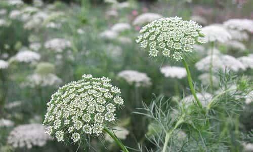 fotos Planta Biznaga flores