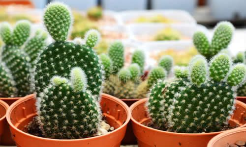 fotos planta Nopal