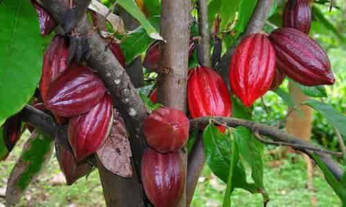 fotos planta cacao