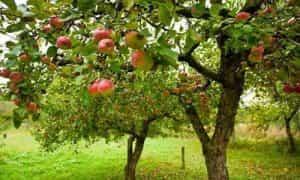 Árbol Manzano y sus Caracteristicas