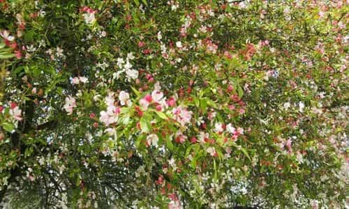 fotos Manzano flores