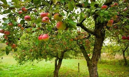 fotos arbol Manzano