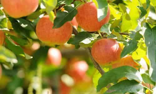 fotos Manzano frutos