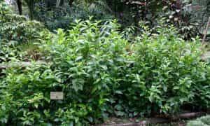 Planta Anamú y sus Propiedades