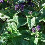 Planta Medicinal Heliotropo
