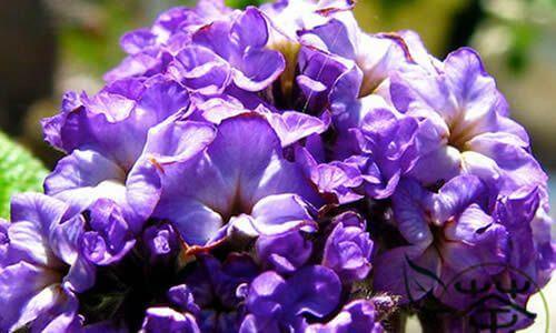 fotos Planta Heliotropo