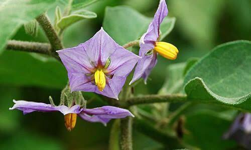 fotos de berengenas flores