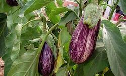 berengenas-planta