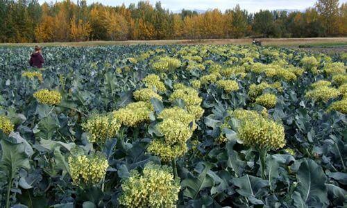 fotos brocoli planta