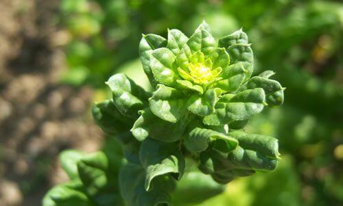fotos flores de espinacas