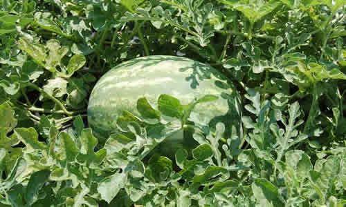 fotos planta sandias
