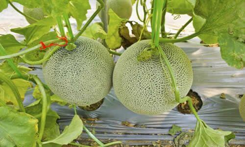 Fotos Planta Melones