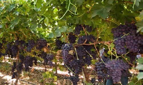 fotos planta de uva