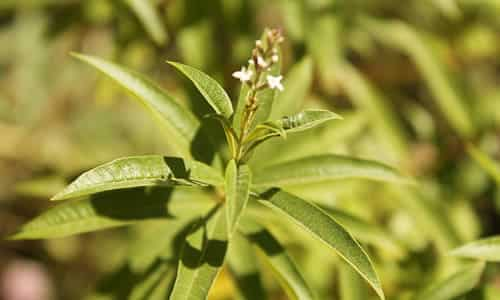 fotos flor de cedron