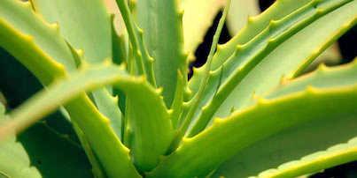 fotos planta aloe-vera