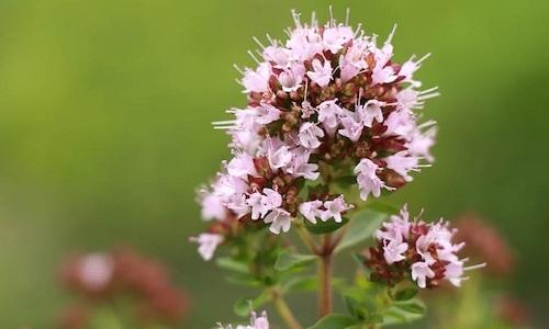 fotos planta Majorana