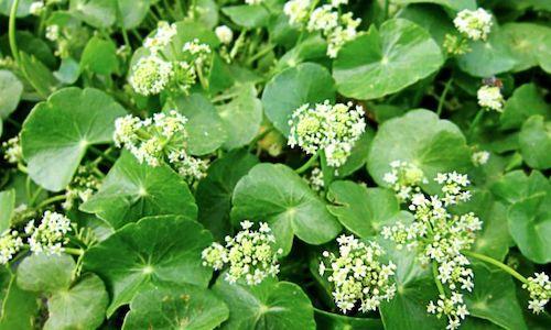 foto planta centella asiatica