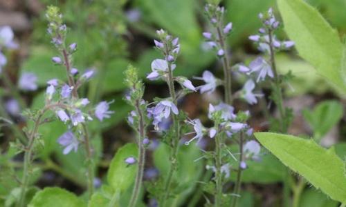 foto planta Veronica_officinalis